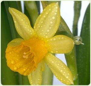10 deadly- Daffodil