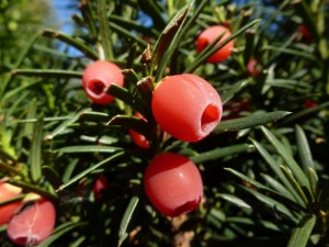 10 deadly- european-yew