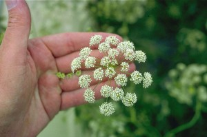 10 deadly- water-hemlock