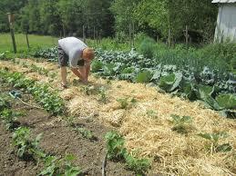mulch gardening 3