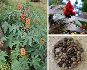 10 deadly-castor-plant-bean